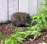 kick willy mountain beaver