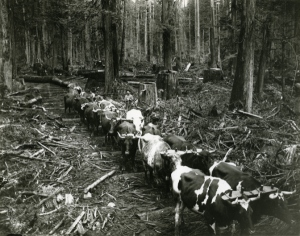 Team of oxen in British Columbia