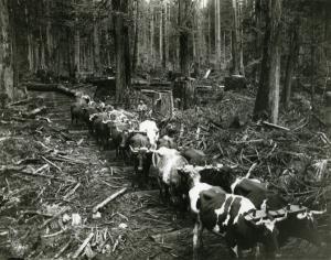 Team of oxen in British Columbia