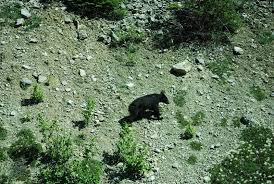bear in the mountains