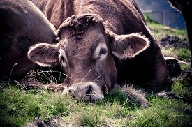 sleepy_cow_observing_with_a_jaded_eye_cg2p14309978c_th