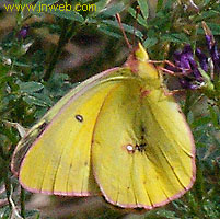 cariboo butterfly