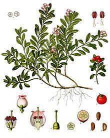 Arctostaphylos_uva-ursi_-_Köhler–s_Medizinal-Pflanzen-013