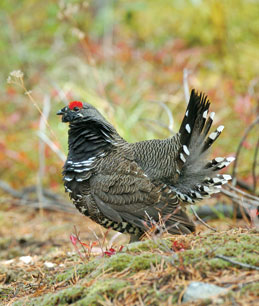 franklin grouse