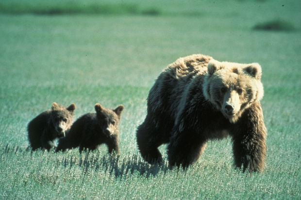 Grizzly_Bear_Family_in_Glacier_National_Park.jpg