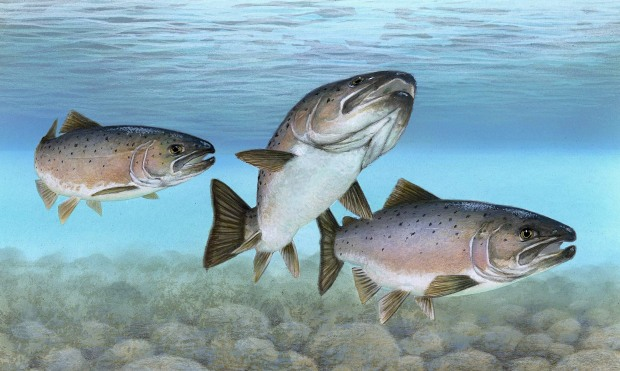 generic salmon